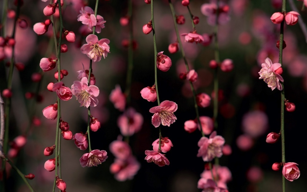 14252760-R3L8T8D-1000-4381355-R3L8T8D-1000-sakura-blossom-awesome-spring-flowers-nature_179469