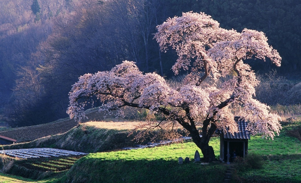 14261960-R3L8T8D-1000-4391155-R3L8T8D-1000-spring_in_japan-wallpaper-1920x1200